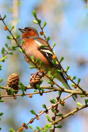 ¡rboles con pajaros: pinzón de primavera en una rama