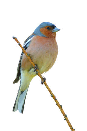 spring finch on a branch Stock Photo