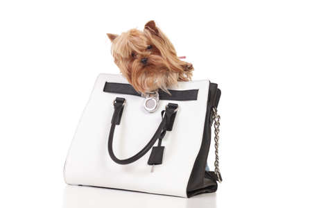 lap of luxury: Yorkshire terrier sits in the bag