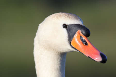 close range: photo from close range. portrait of swan. Cygnus olor