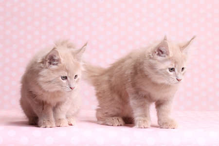pampered: Cute Maine Coon kitten