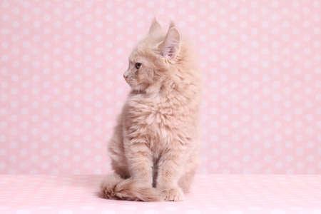 grey eyed: Cute Maine Coon kitten