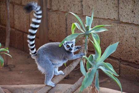 catta: ring-tailed lemur (lemur catta) looking