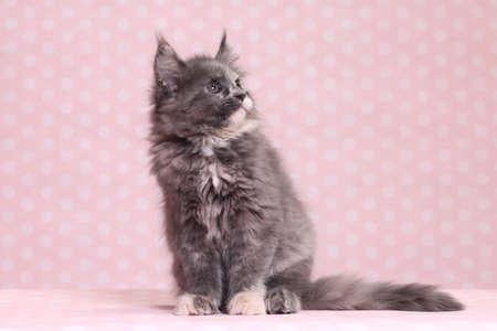 maine coon: Cute Maine Coon kitten