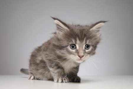 maine: Cute Maine Coon kitten