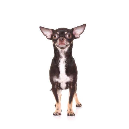 toyterrier: Toy Terrier on white background