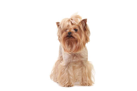 Closeup Portrait Yorkshire Terrier Dog on White Stock Photo