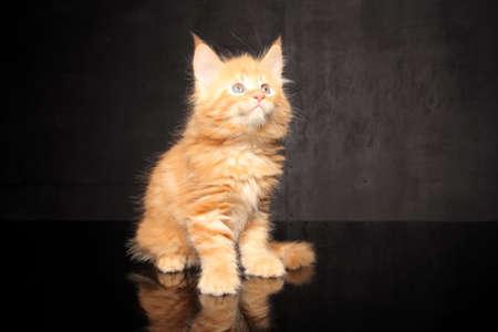 nursling: small Maine Coon kitten sitting on black background