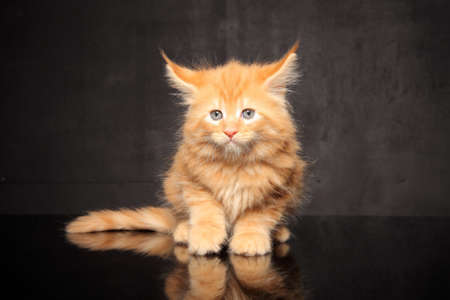 small Maine Coon kitten sitting on black background