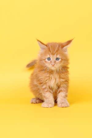 nursling: Small Maine Coon kitten on yellow background
