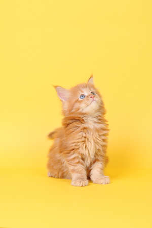 Small Maine Coon kitten on yellow background
