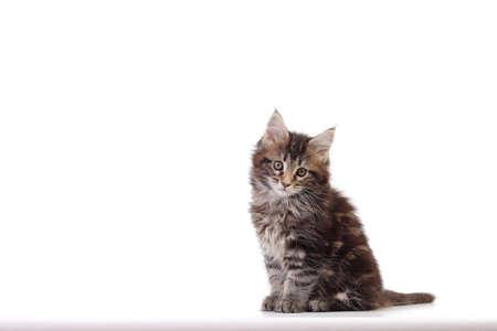 Small kitten of maine coon Studio photo of a kitten Stock Photo