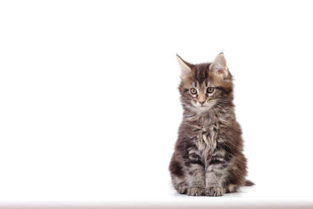 Small kitten of maine coon Studio photo of a kitten Stock Photo