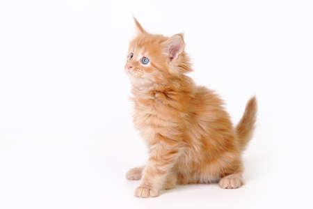 Small kitten of maine coon Studio photo of a kitten 版權商用圖片