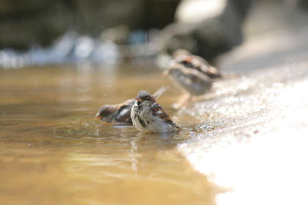 sparrow with a spray bathes in a puddle