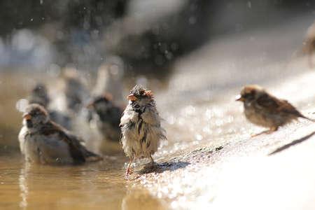 sparrow with a spray bathes in a puddle Banco de Imagens