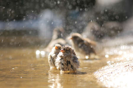 sparrow with a spray bathes in a puddle Stok Fotoğraf