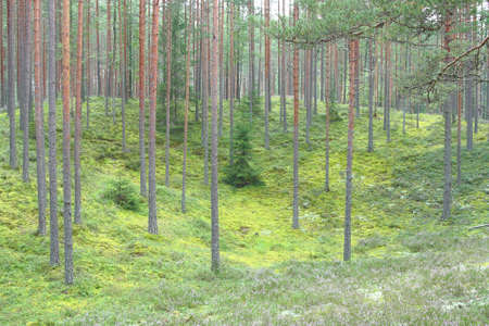 autumn european green forest with pine trees