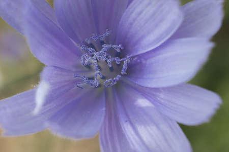 nymphaea odorata: Lilac flower close up