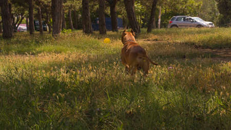 large dog: Large dog running fast in the field