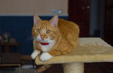 Cute domestic red cat in a house