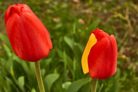 シベリア、咲き誇るチューリップを春します。