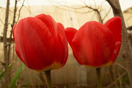 シベリア、チューリップを春します。