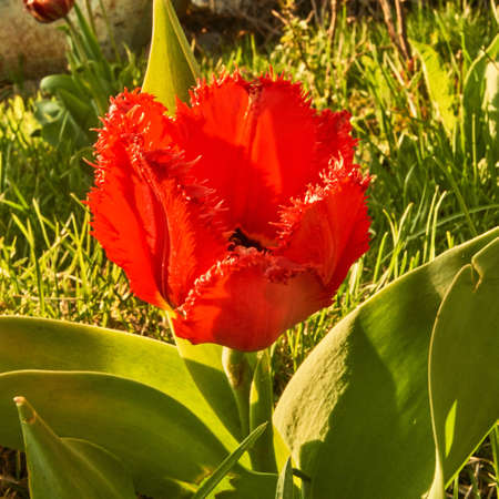 Spring in Siberia, a tulip