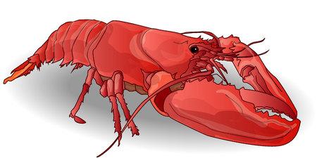pincer: crayfish coocked isolated white background