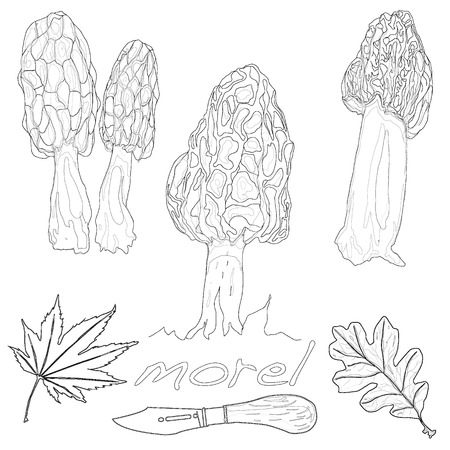 sponge mushroom: morel mushroom vector illustration isolated Illustration
