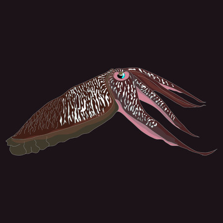 cuttlefish: Cuttlefish vector drawing. Edible marine mollusk with tentacles isolated on dark background. Illustration