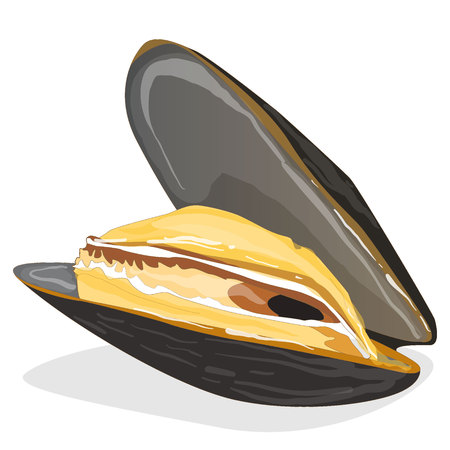 mollusc: Mussels vector illustration on white background