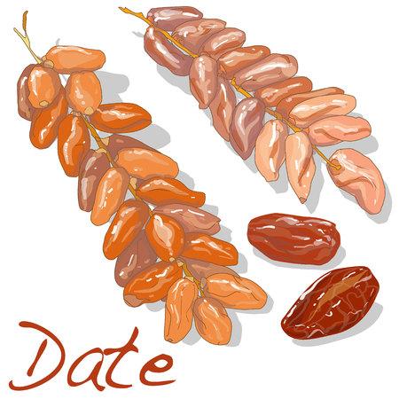 Date de fruits. Date fruit sec isolé. Vector illustration. Vecteurs