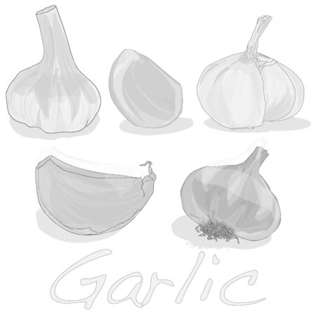 spiciness: Garlic isolated on white background vector illustration