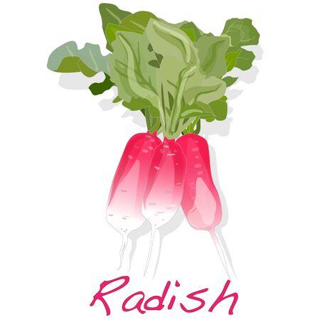 vegatables: Fresh radish isolated on white background. Vector.