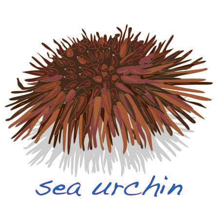 sea urchin isolated white background Illustration