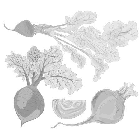 betabel: remolacha fresca aislados en blanco. Vector.