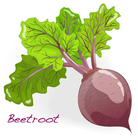beetroot: Fresh beetroot with leaves isolated on white. Vector.