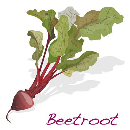 beet root: Fresh beetroot with leaves isolated on white. Vector.