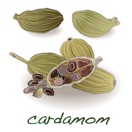 Organic Green or True cardamom (Elettaria cardamomum) with seeds isolated on white background. Vector.