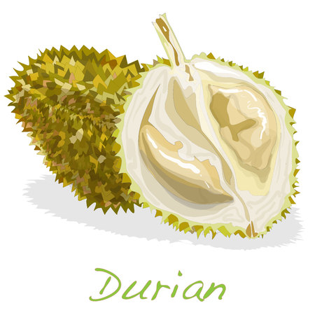 king thailand: Durian isolated on the white background. Vector.