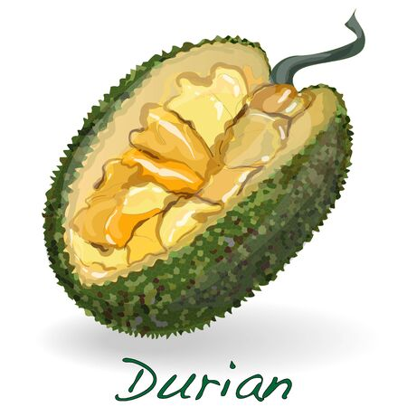 thong: Durian isolated on the white background. Vector.