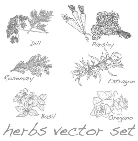 aromatic: herbs vector set isolated