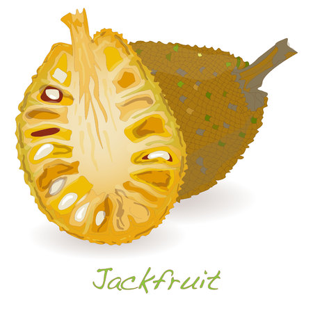 Jackfruit vector isolated on white background Illustration