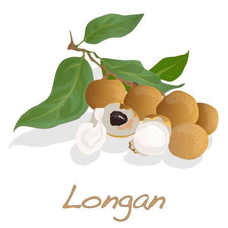 Longan, Dimocarpus longan, vector isolated