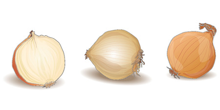 onion isolated vector on white background