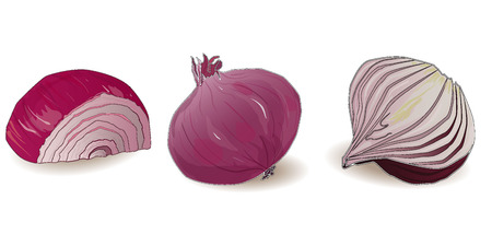 onion isolated: onion isolated vector on white background