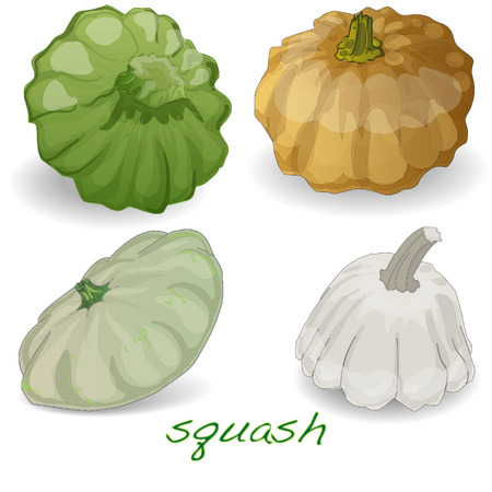 scalloped: Scalloped custard squash  vector (Cucurbita pepo var. patisson), isolated Illustration