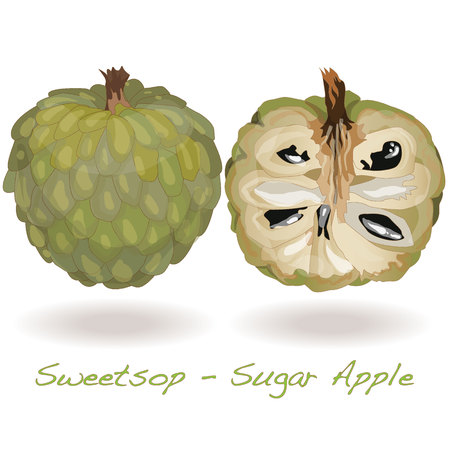 annona: Sugar Apple (custard apple, Annona, sweetsop) vector on white background