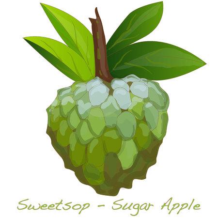 custard: Sugar Apple (custard apple, Annona, sweetsop) vector on white background